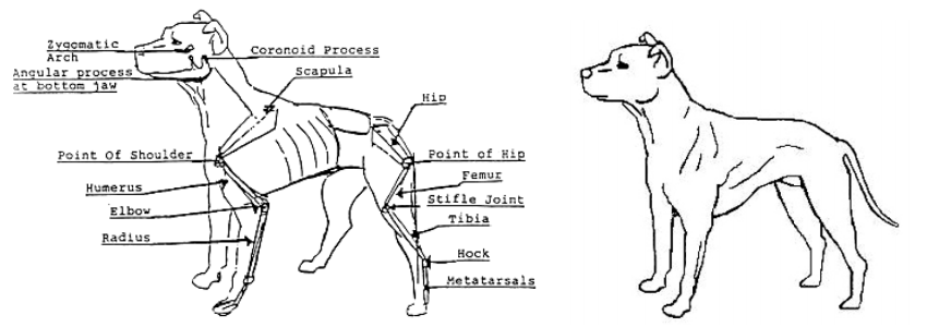 The ADBA American Pit Bull Terrier Conformation Standard