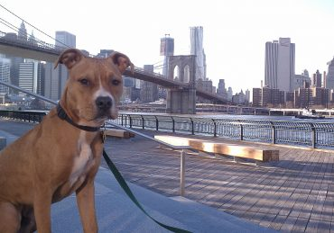 American Pitbull Terrier Brooklyn Br