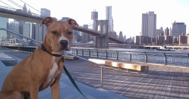 American Pitbull Terrier Brooklyn Br