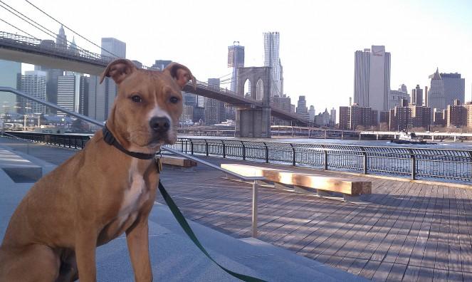 American Pit Bull Terrier Brooklyn Br