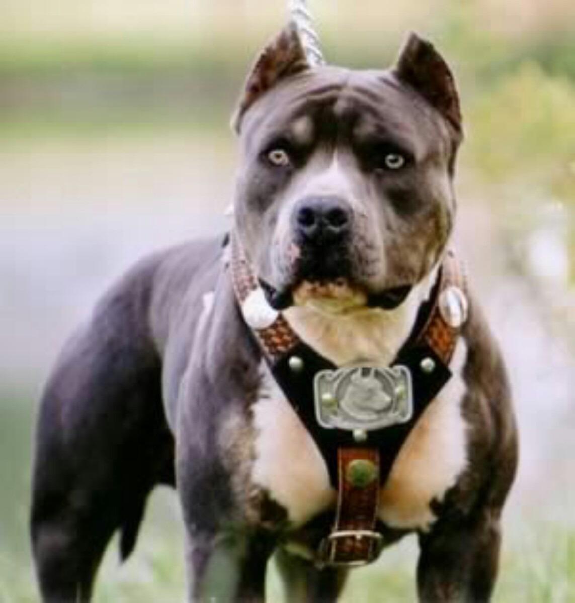 La Storia Dellamerican Pit Bull Terrier Pit Bullit